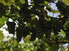 Novo zoneamento expande área de cultivo de uva coberta por seguro federal Lucas Amorelli/Agencia RBS
