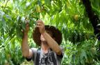 Colheita de frutas movimenta mercado de trabalho na região Lucas Amorelli/Agencia RBS
