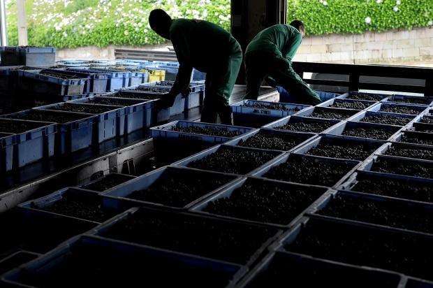 Uvas viníferas começam a chegar às cantinas da Serra Lucas Amorelli  / Agência RBS/Agência RBS