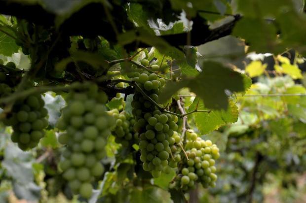 Farroupilha lidera produção de uvas moscatéis no país Lucas Amorelli/Agencia RBS