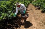 """""""É um trabalho árduo, mas é o que gosto de fazer"""", diz produtor de figos de Nova Petrópolis Antonio Valiente/Agencia RBS"""