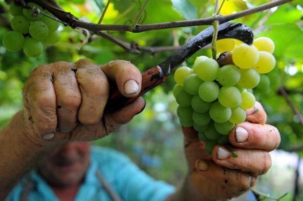 Serra Gaúcha colhe 1,1 milhão de toneladas de frutas Felipe Nyland/Agencia RBS