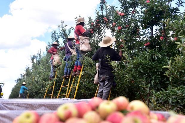 Confira como está a colheita da maçã nos Campos de Cima da Serra Artur Alexandre/Divulgação