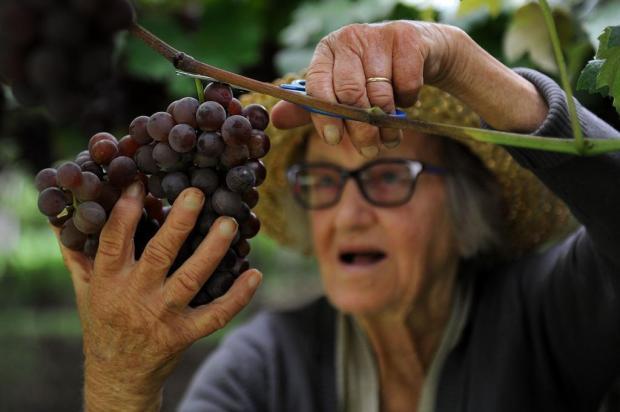 Saiba quem são os agricultores que fornecem frutas para a Festa da Uva Marcelo Casagrande/Agencia RBS