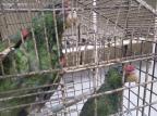 Patrulha Ambiental apreende filhotes de papagaio em propriedade no interior de Ipê Divulgação / Patram/Patram