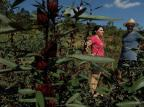 Produtores da Serra apostam no plantio de hibisco Lucas Amorelli / Agência RBS/