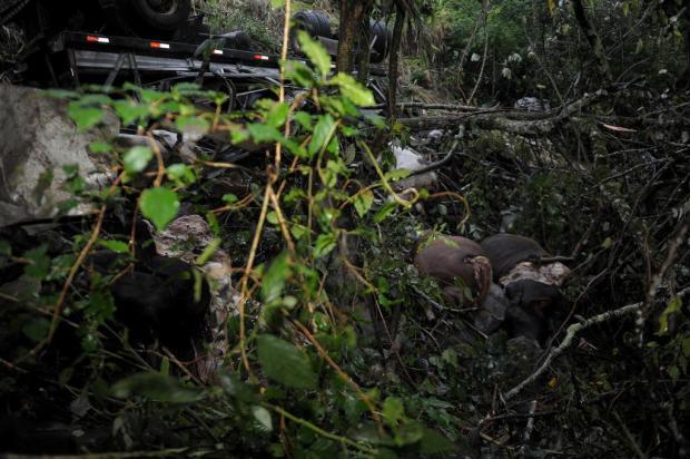 Remoção de bois mortos e caminhão provoca restrição no trânsito na ERS-122, em Farroupilha Lucas Amorelli/Agencia RBS