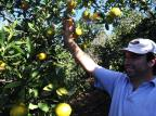 Começa a safra da laranja na Serra Antonio Valiente/Agencia RBS