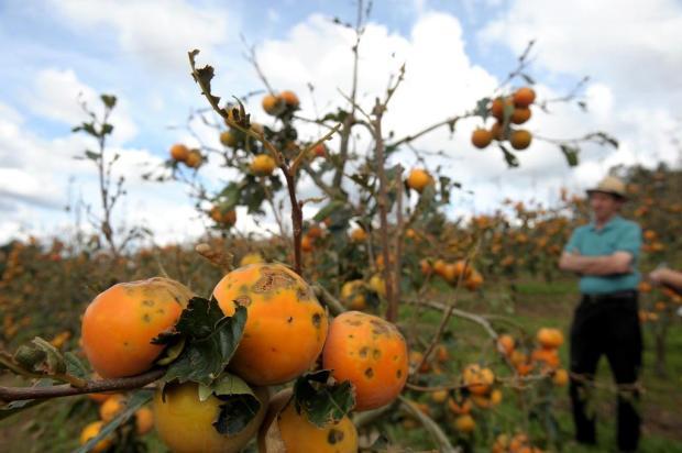 O drama do agricultor de Farroupilha que perdeu toda produção de caqui após granizo Lucas Amorelli/Agencia RBS