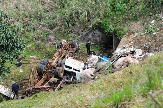 Caminhão tomba e 10 bovinos que seriam levados para a Expointer morrem em Farroupilha Porthus Junior/Agencia RBS