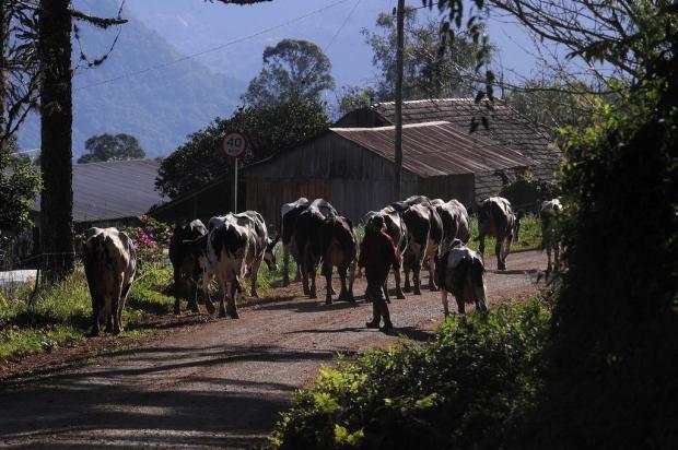Queda no preço do leite afeta negócios na Serra Marcelo Casagrande/Agencia RBS