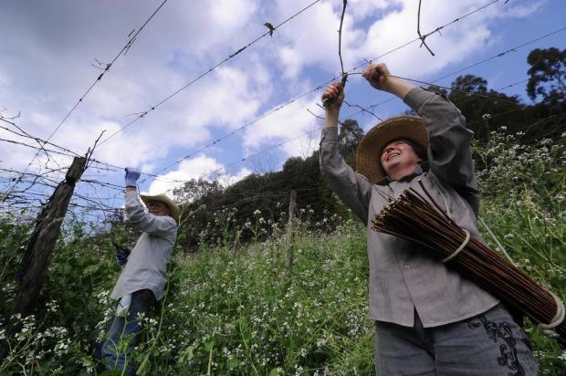 Viticultores da Serra intensificam poda das videiras Marcelo Casagrande/Agencia RBS