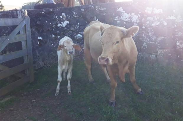 Produtor rural paga exame de DNA para comprovar posse de vaca nos Campos de Cima da Serra Polícia Civil / Divulgação/Divulgação