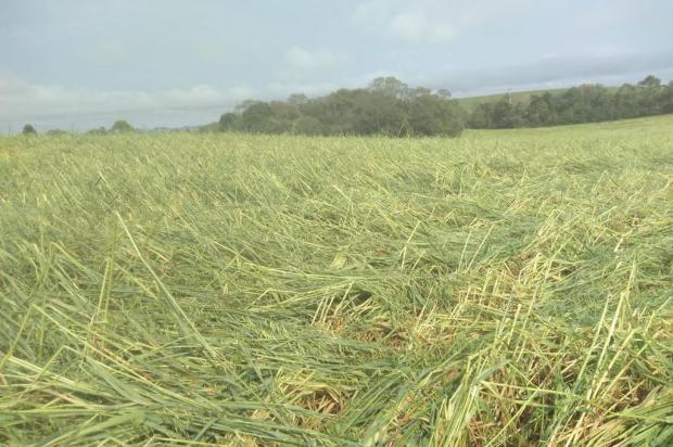 Centenas de hectares de trigo e aveia em Lagoa Vermelha são destruídos pelo granizo Vilson Nadin/Emater