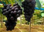 Agricultores da Serra já estão colhendo as primeiras uvas da safra Rogian Bianchi Santini/Divulgação