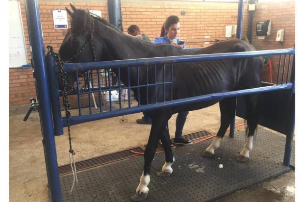 Cavalo em situação de maus tratos é resgatado no bairro Cinquentenário, em Caxias do Sul Divulgação / Divulgação/Divulgação