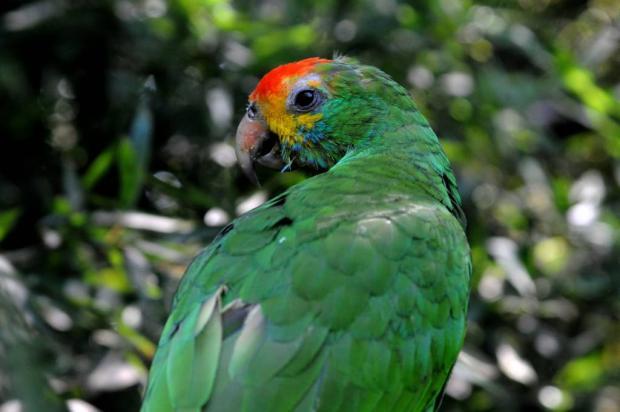 Aves resgatadas do tráfico são encaminhadas ao Gramadozoo Halder Ramos / Divulgação Gramadozoo/Divulgação Gramadozoo