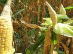 Agricultura da Serra sofre com os extremos do clima Embrapa/Divulgação