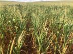Com técnicos em quarentena, agricultores poderão acionar seguro governamental sem perícia na lavoura Cooperval/Divulgação