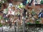 Safra da uva na Serra não deve chegar a 500 milhões de quilos Bruno Comachio/Divulgação