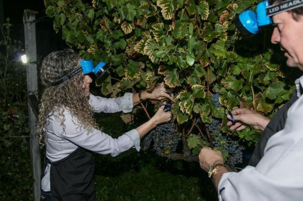 Colheita noturna é diferencial em vinícola de Bento Gonçalves Vinícola Larentis/Divulgação