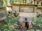 Criação de abelhas sem ferrão é tema de curso em Garibaldi Divulgação/