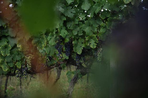 Chuva da última quarta-feira renova esperança de safra da uva melhor na Serra Gaúcha Antonio Valiente/Agencia RBS