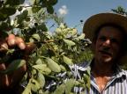 Produção de mirtilo em Caxias ganha espaço na produção de alimentos saudáveis Lucas Amorelli/Agencia RBS