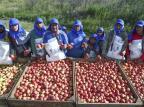 Colheita da maçã, em Vacaria, tem presença recorde de indígenas do Mato Grosso do Sul Isadora Neumann/Agencia RBS