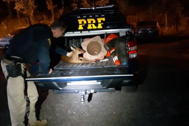 Veado é resgatado após ser atropelado na BR-470, em Bento Gonçalves PRF/Divulgação