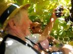 Qualidade da uva coloca a safra 2020 como a melhor dos últimos anos na Serra Gaúcha Lucas Amorelli/Agencia RBS
