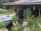 Brigada Militar apreende 310 pés de maconha em propriedade rural em Caxias Jackson Cardoso/Divulgação