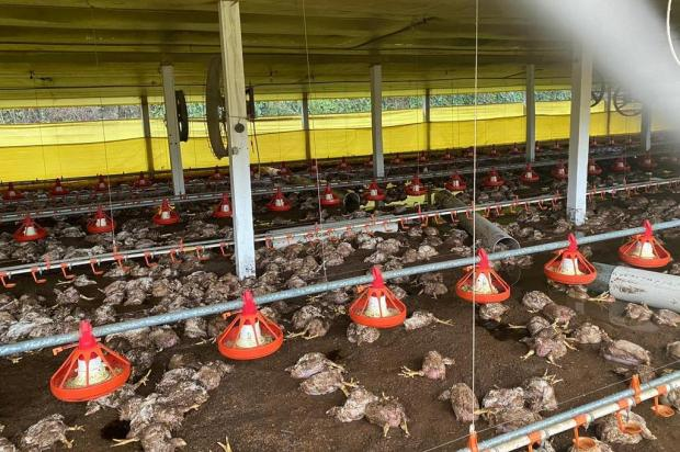 Cerca de 70 mil quilos de aves são recolhidos após morte de animais durante alagamento em Nova Prata Defesa Civil/Nova Prata