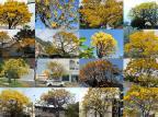 Escolha o ipê mais bonito de Caxias do Sul Montagem sobre as fotos de divulgação/