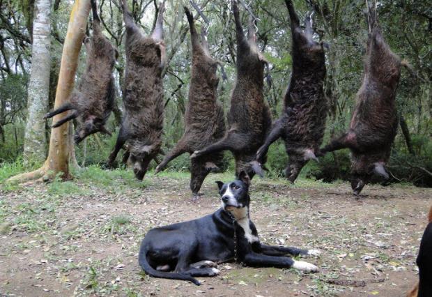 Proibição da caça do javali ameaça lavouras da Serra gaúcha Cassiano Onzi, Divulgação/